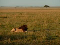 Lion family in Masai Mara (Carlos Affonso) Tags: africa kenya safari masai maasai savanna masaimara maasaimara savana qunia