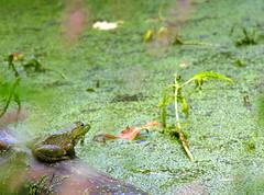 Green ambition (jere7my) Tags: cemetery graveyard pond amphibian frog algae greenfrog duckweed bullfrog mountauburncemetery