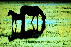 Na vrzea... (Eduardo Amorim) Tags: brazil horses horse southamerica brasil caballo cheval caballos mare cavalos pferde cavalli cavallo cavalo pferd riograndedosul hest hevonen brsil chevaux riogrande gua  yegua amricadosul foal hst  amriquedusud   potrillo sudamrica suramrica amricadelsur  sdamerika   americadelsud  americameridionale eduardoamorim potrilho iayayam yamaiay