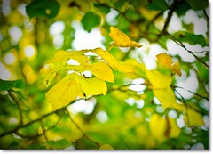 Ton in Ton (ponte1112) Tags: autumn green leaves yellow schweiz nikon bokeh laub herbst gelb che grn lightroom3 d5100 nikkorafs35mm18
