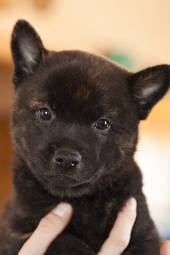 Kumi-Fall2011-Day40-Puppy2(Hachi)-Male-a