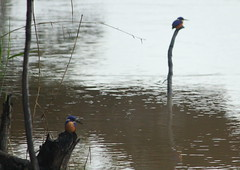 Murray River, Victoria (Chris&Steve) Tags: bird river v100 australia victoria nsw kingfisher murrayriver p100 azurekingfisher australiavictoria