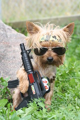 Playgirls stud of the month for Nov..The Sarg.. (karlaspence35) Tags: canada yorkie sunglasses gun military tags rambo rubin sarg playgirl