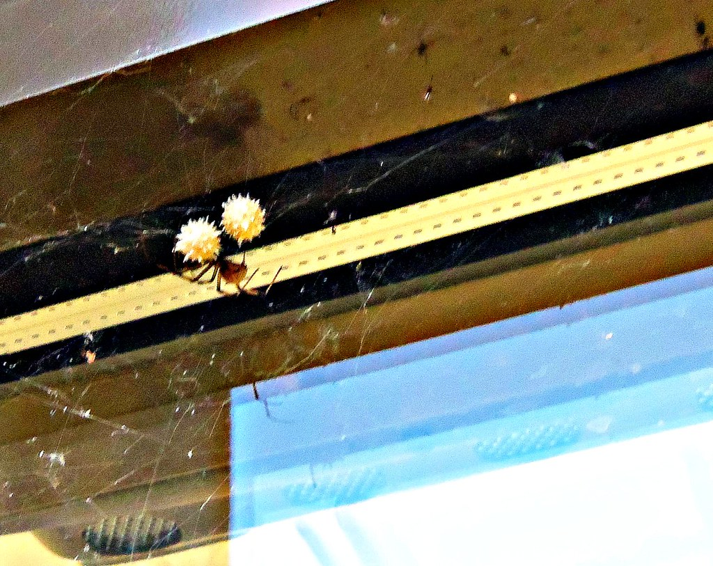 Brown Widow Spider and Egg Sacs