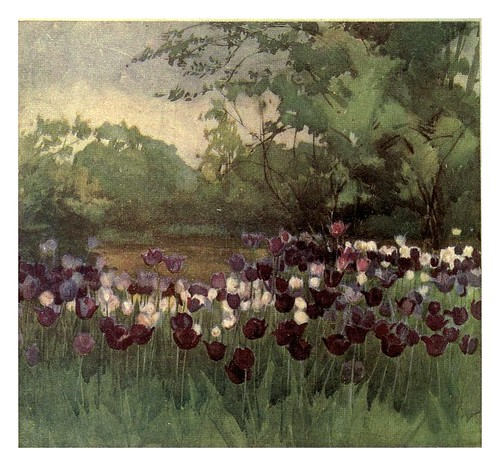 029-Tulipanes Darwin- Flower grouping in English, Scotch & Irish gardens 1907- Margaret Waterfield