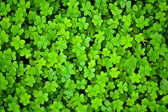 Trboles, encuentra el de cuatro hojas (Dani_vr) Tags: espaa verde green spain corua plantas galicia galiza trebol treboles