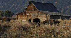 Bison at Mormon Row Farmhouse (elephant splash) Tags: autumn trees wild usa holiday fall grass sunshine animal farmhouse landscapes nationalpark buffalo horns yellowstone tetons bison grandteton abandonedfarmhouse mormonrow