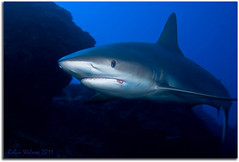 Cruising The Reef (Robin-Wilson) Tags: shark scubadiving turksandcaicos coralreef openwater whatathrill nocage