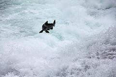 Jumping Slamon Canada IMG_2346