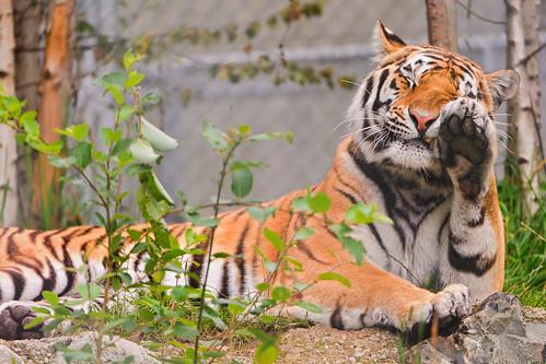 無料写真素材, 動物 , 虎・トラ