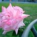 ブライダル ピンク(Bridal Pink)