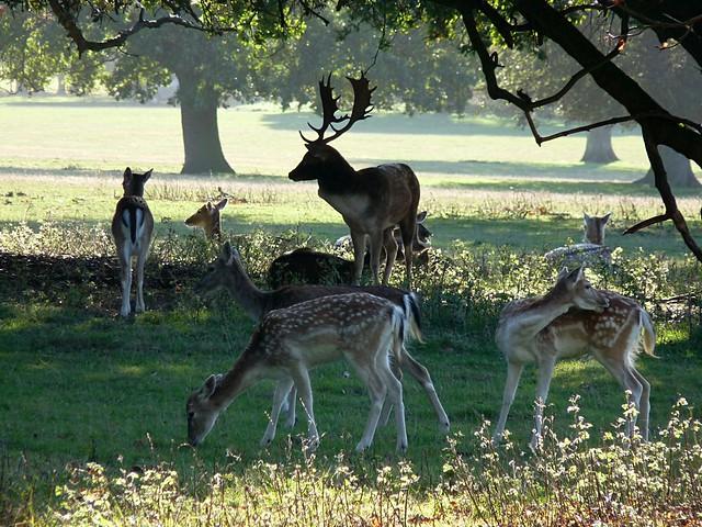 25209 - Fallow Deer, Holkham Hall