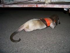 Hiding under a trailer