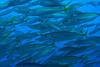 baitOct24-11 (divindk) Tags: shark diving greatwhiteshark cagediving guadalupeisland diverdoug