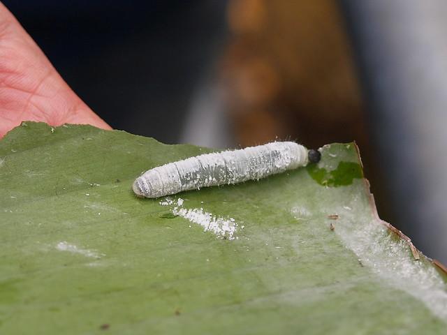 香蕉挵蝶幼蟲
