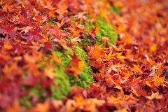 (Jennifer ) Tags: autumn macro colors japan nikon kyoto colorful autumnleaves            d3s kayede carlzeiss100mmf2