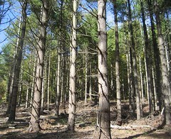 Planted white pine stand post-harvest.