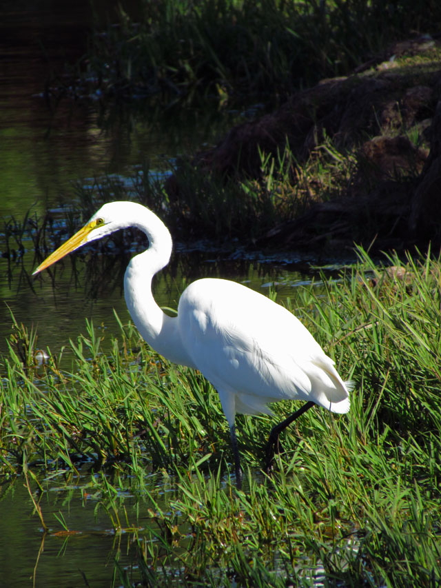 egret resized