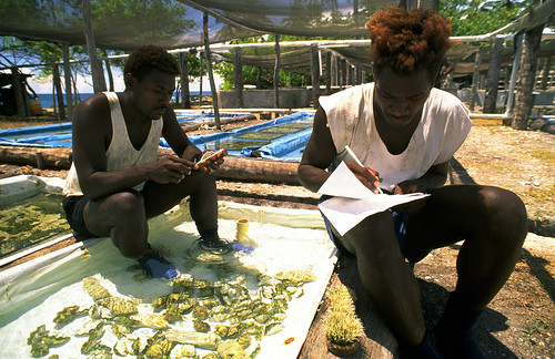 Measuring giant clams for growth experiment, Solomon Islands. Photo by Mike McCoy, 2001