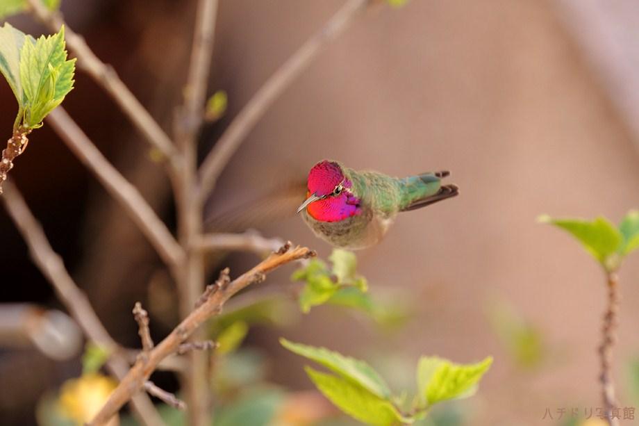 Anna's Hummingbird 110711-2