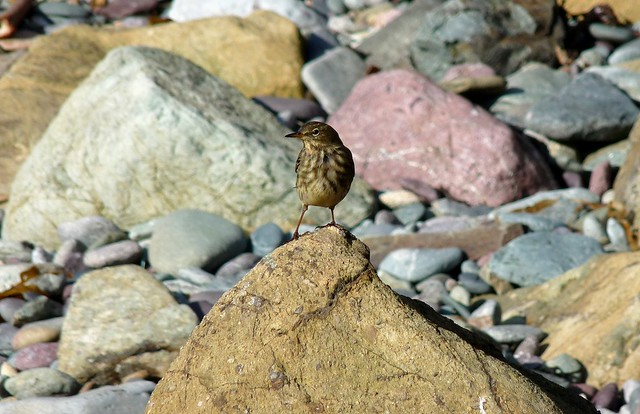 25263 - Meadow Pipit