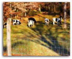 not much grazing left (Maewynia) Tags: trees shadow field fence oak cows holstein