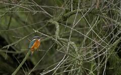 Le Martin du 11 à 11 h. 11minutes et 11 secondes  !!!!_DSC0531 (6franc6) Tags: 30 11 gard camargue 11111111 ornithologie 6franc6 11h11 oiseau6f pontdestourradons