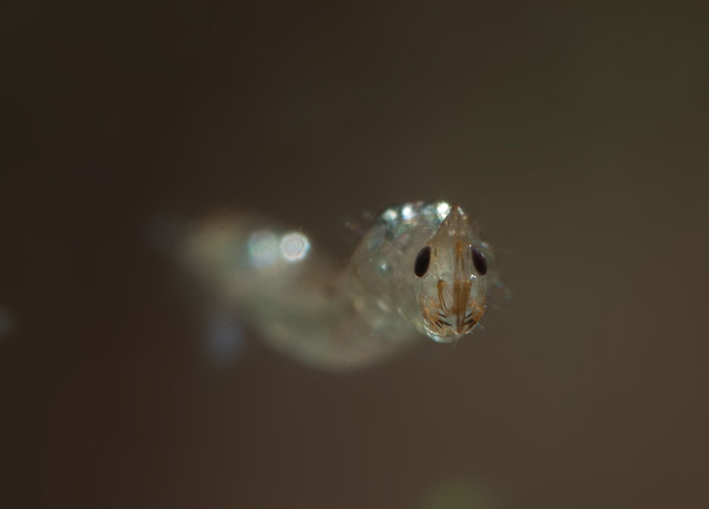 phantom midge larva edited