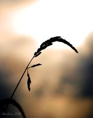 Silence (misst.shs) Tags: autumn black fall nature grass silhouette nikon idaho silence backlit hmm tassel sandpoint hss northidaho macromondays sliderssunday colburnid