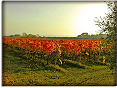 "Here it produces the best white wine in the Marche - the ""Verdicchio"" (Explore Nov. 15/2011) (Usc) Tags: autumn trees friends light red sky italy panorama white tree green me nature colors yellow skyline landscape photo europe country perspective natura sole marche jesi colline iphone4 staffolo yourcountry paesaggimarchigiani doubleniceshot mygearandme mygearandmepremium ringexcellence usc flickrstruereflection1 flickrstruereflection2"