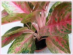Our Aglaonema cv. Legacy with attractive pink+green variegated foliage and pinkish white stalks, Oct 15 2011