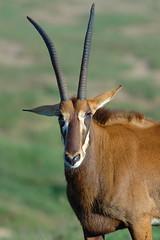Antelope grazing at Wild Animal Park in Escondido-04 11-12-07