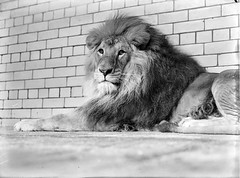 All grown up (National Library of Ireland on The Commons) Tags: ireland dublin male animal animals wall cat 1932 zoo thirties 1930s lion september irishindependent 1928 mane zoos phoenixpark dublinzoo zoologicalgardens nationallibraryofireland dublinhorseshow independentnewspaperscollection