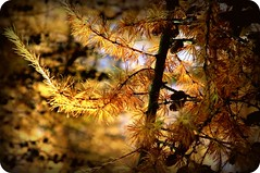 The Larch! (judy dean) Tags: tree print naturethroughthelens