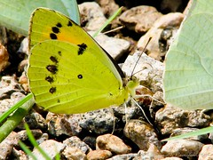 Butterfly at Attapadi (Harinath Ravichandran) Tags: coimbatore attapadi