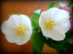 Resemblance of Two Eyes, (* Janets Photos *) Tags: uk flowers white flora tulips masterphotos artisticflowers takenwithlove excellentsflowers mindigtopponalwaysontop lovelyflickr theoriginalgoldseal goldenachievement