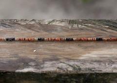 Shell money in New Ireland Island - Papua New Guinea (Eric Lafforgue) Tags: shells island culture tribal png tradition papuanewguinea oceania coquillage 巴布亚新几内亚 oceanie papuaneuguinea papuanuovaguinea パプアニューギニア papouasienouvelleguinée papouasienouvelleguinee papuaniugini papoeanieuwguinea papuásianovaguiné papuanyaguinea παπούανέαγουινέα папуановаягвинея papúanuevaguinea 巴布亞紐幾內亞 巴布亚纽几内亚 巴布亞新幾內亞 paapuauusguinea ปาปัวนิวกินี papuanovaguiné papuanováguinea папуановагвинеја папуановагвинея papuanowagwinea papuanugini papuanyguinea 파푸아뉴기니 tribetribu monnaietraditionnelle traditionnalmoney png1187