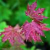 reddish purple leaves 20111004_5641 (GORGEous nature) Tags: plant tree fall leaves washington leaf october scenic skamaniaco acer gpnf vegetation vinemaple reddishpurple acercircinatum ©johndavis
