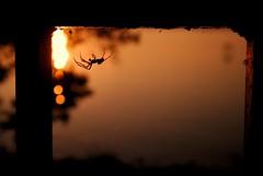 romantic spider (Margot in Love) Tags: sunset shadow summer vacation sun lake reflection water silhouette see spider wasser hungary sonnenuntergang bokeh sommer urlaub romantic spinne sonne schatten spiegelung ungarn balaton romantik 2011 pentaxk10d fonyod