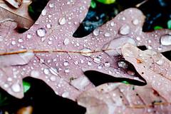 Rain on Leaves (vladdythephotogeek) Tags: autumn macro rain pittsburgh sony alpha tamron 90mm a550