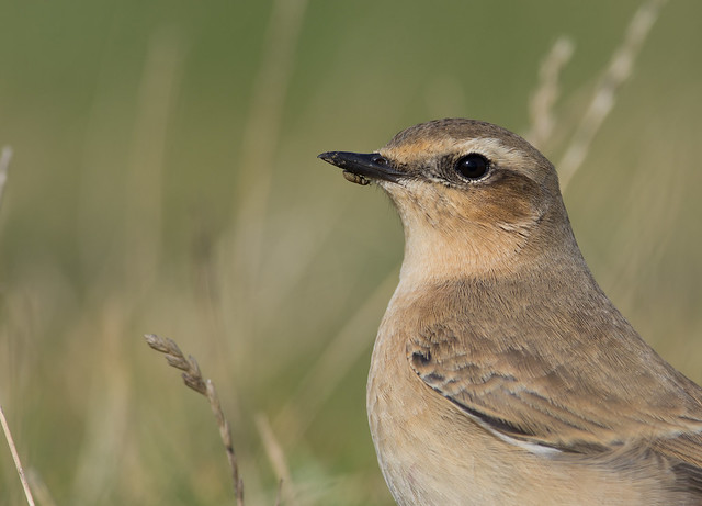 wheatear with weevil on beak afternoon 300mm 6