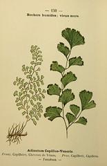 Anglų lietuvių žodynas. Žodis venus'-hair fern reiškia venera'-adiantų lietuviškai.