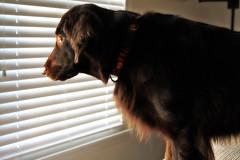Glowing in the sunlight (Flat Coat Whimsy) Tags: lighting dog whimsy retriever perro flatcoatedretriever