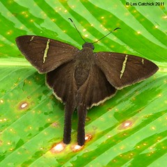 Skipper (Urbanus sp. probably teleus but possibly tanna) (LPJC) Tags: butterfly ecuador skipper urbanus lpjc wildsumaco