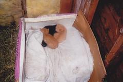 """** Les chatons de Caresse ** (Impatience_1) Tags: animal cat kitten feline chat kitty scanned stable minou adoption chaton félin impatience coth bête écurie supershot numérisée fantasticnature kittysuperstar kissablekat """"kittenmagazine"""" catmoments coth5 friendsofzeusphoebe blinkagain bêtesdedanielle"""