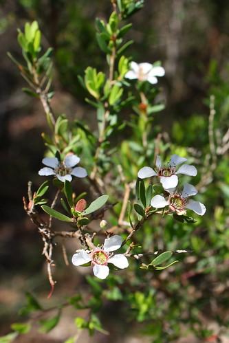 Paperbark Tea Tree