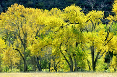 The Streets Were Lined with Gold (wellscenephotography (ON)) Tags: autumn trees light sunlight inspiration painterly color green nature beauty leaves yellow horizontal backlight contrast forest landscape outdoors photography hope gold nikon october colorado natural curves meadow tranquility row cottonwood strong aspen awe purpose 32 shimmer vividcolors goldenlight 2011 102011 d5100 alchristensen wellscenephotography y102011