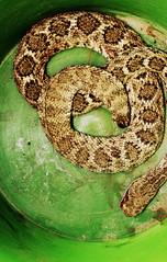 rattlesnake in a bucket (EllenJo) Tags: arizona green dead snake az killed viper rattlesnake gruesome rattler diamondback verdevalley toobad wildcreature greenbucket inabucket handsomesnake vibura