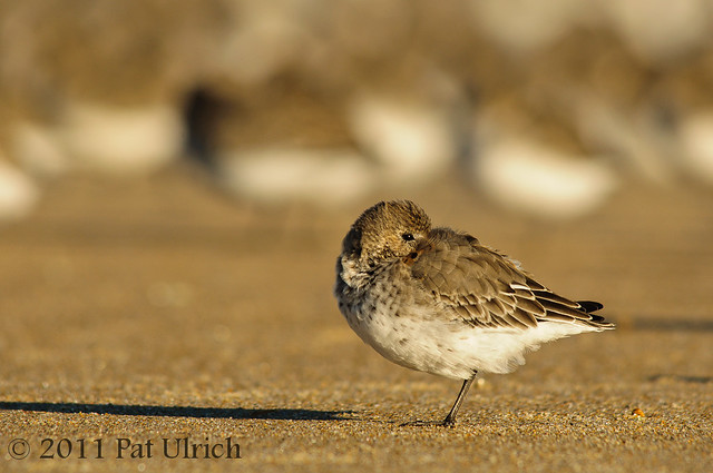 Dunlin on the beach