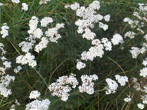 yarrow Oct 11